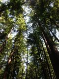 Tall Redwood Trees Royalty Free Stock Photography
