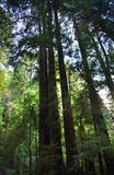Tall Redwood Trees Muir Woods San Francisco Stock Image