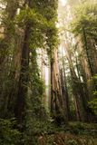 Tall Redwood Trees Scenery. Redwood Forest, California USA royalty free stock photos