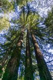 Tall Redwood trees Sequoia sempervirens, California royalty free stock images