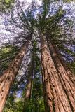 Tall Redwood trees Sequoia sempervirens, California stock images
