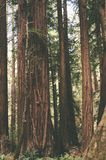 Redwood Forest Trees Stand Tall. Tall Redwood trees stand in the Muir Woods forest during the day royalty free stock photography