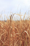 Tall Reed Background Royalty Free Stock Photography