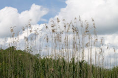 Tall reed. With a cloudy sky background, in the Neajlov River Delta, south of Bucharest, Romania Stock Images