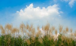 Tall Reed. Row Tall Reed Dancing in The Wind and Cloud with Blue Sky Royalty Free Stock Images