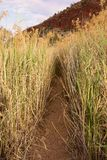 Tall Reeds and Grass Along Outback Track. Stock Photography