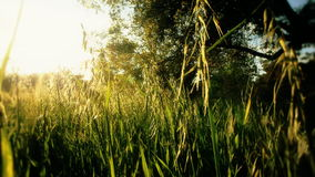 Tall Reeds of Grass Sway in Rural Area stock video footage