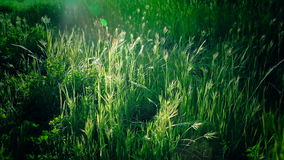 Tall Reeds of Grass Sway in the sunlight