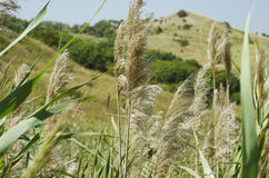 Tall reeds on the hills background. On the mountain Stock Images