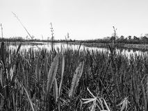 Black and white swamp grass. Tall reeds and swamp lilies on the river shore royalty free stock photos