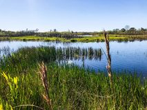 Grass on riverbank. Tall reeds and swamp lilies on the river shore royalty free stock photos