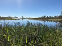 Swamp grass and wildflowers in the marsh. Tall reeds and swamp lilies on the river shore stock photo