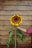 Tall ripe hand supported sunflower Royalty Free Stock Photography