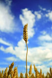 Tall ripe wheat Royalty Free Stock Images