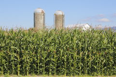 Tall Ripening Corn and Silos Royalty Free Stock Photography