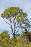 Tall Rising Pine Tree Against The Sky. A tall, rising pine tree against the sky, dwarfing all vegetation around it and palm trees to each side royalty free stock photo