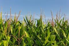 Tall Row of Field Corn Royalty Free Stock Image