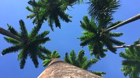 Tall Royal Palm Trees Bright Blue Sky. Tall royal palm trees blowing in the wind against bright blue tropical sky stock video footage