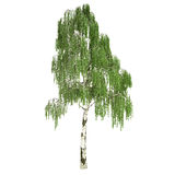 Tall Russian Birch Tree Isolated. On white Stock Photos