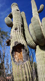 Tall Saguaro Cactus with blue sky as background Stock Photography