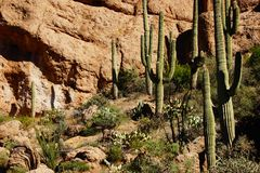 Tall saguaro cactus in the desert highlands Stock Photography