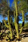 Tall saguaro cactus Stock Image