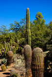 Tall saguaro cactus Stock Photo