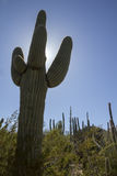 Tall Saguaro Cactus Rises High Above The Sonoran Desert Landscape Stock Photography