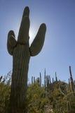 Tall Saguaro Cactus Rises High Above The Sonoran Desert Landscape. This tall Saguaro Cactus rises high above the Sonoran Desert Floor in the Phoenix Arizona Stock Photography