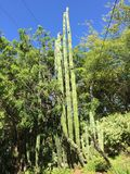 Tall saguaro cactus tropical tree stock photo
