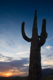 Tall saguaro at sunset. Tall saguaro cactus and colorful sunset Stock Images