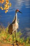 Tall Sandhill crane. Bird by the lake Stock Photo