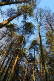Tall Scotch Pine Trees In Winter Stock Photo