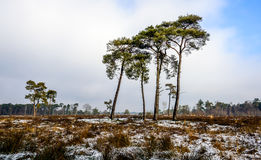 Tall scots pines against a cloudy sky Stock Photography