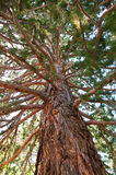 A tall sequoia Stock Photography