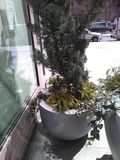 Tall shrubs in stone pot in front of shadowed window. Tall shrubs in stone pot in front of shadowed window outside of building. Shadows on pavement.  Larger stock photos