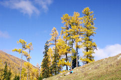 Tall Siberia fir Stock Image