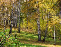 Tall slender white birch trunks in a golden dress  Russian autum Royalty Free Stock Photography