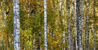 Tall slender white birch trunks in a golden dress  Russian autum Stock Photography