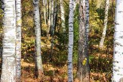 Tall slender white birch trunks in a golden dress  Russian autum Stock Photography
