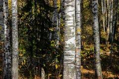 Tall slender white birch trunks in a golden dress  Russian autum Stock Photos