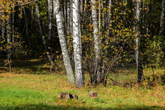 Tall slender white birch trunks in a golden dress  Russian autum Stock Images