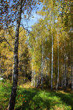 Tall slender white birch trunks in a golden dress  Russian autum Stock Image