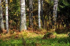 Tall slender white birch trunks in a golden dress  Russian autum Royalty Free Stock Image