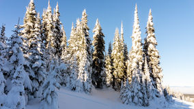 Tall Snow Covered Pine Trees under Blue Skies. Snow covered pine trees in high Alpine mountains of Western Canada in the ski resort of Sun Peaks under clear blue Stock Photo