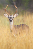Tall spike. Tall yearling whitetail buck spike Stock Photo