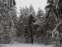Tall spruce drowned in the snow. High spruce drowned in the snow. Winter came to the right. She plentifully covered with snow trees, paths, roads, houses royalty free stock photography