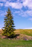 Tall spruce tree on the grassy hillside. Lovely springtime nature scenery with blue sky and some clouds Stock Photos