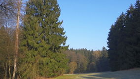 Tall spruce tree in the meadow between the woods. Spring nature stock video