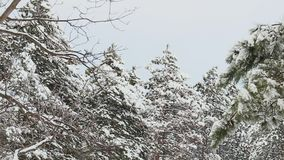Tall spruce trees covered with snow in frosty winter landscape. Christmas background with fir tree. Tall spruce trees covered with snow in frosty winter stock footage